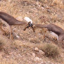 Gazelles Fighting